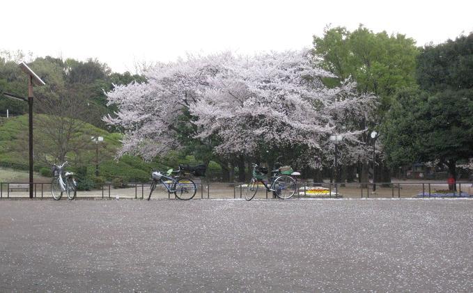 2011桜-1.jpg