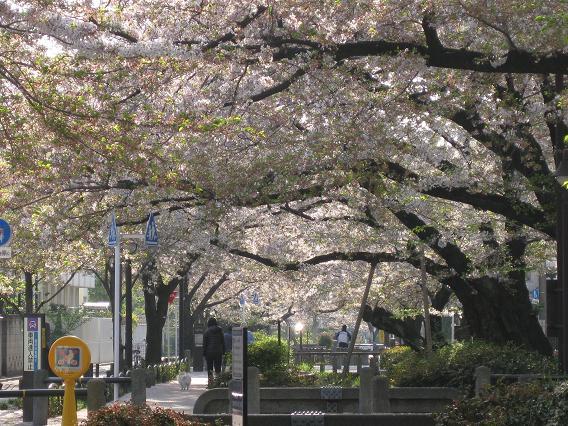 2011桜-9.jpg