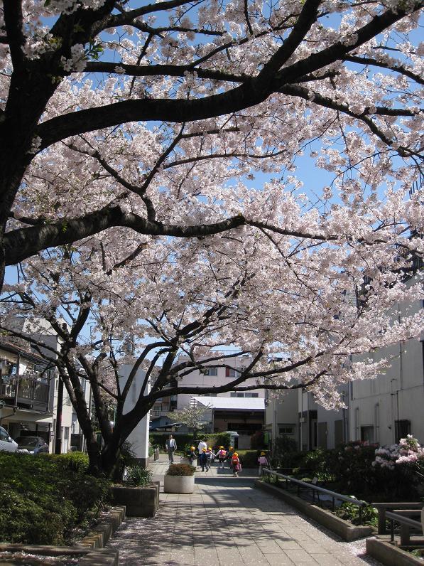 2011桜-4.jpg