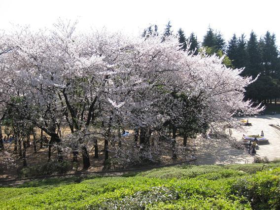 2011桜-6.jpg